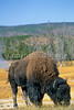 Yellowstone NP - Bison near Geyser Hill Loop Trail along Firehole River - - 72 dpi