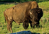 Bison, Yellowstone - 6 - 72 dpi