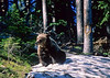 Yellowstone NP - grizzly bear - 2 - 72 dpi