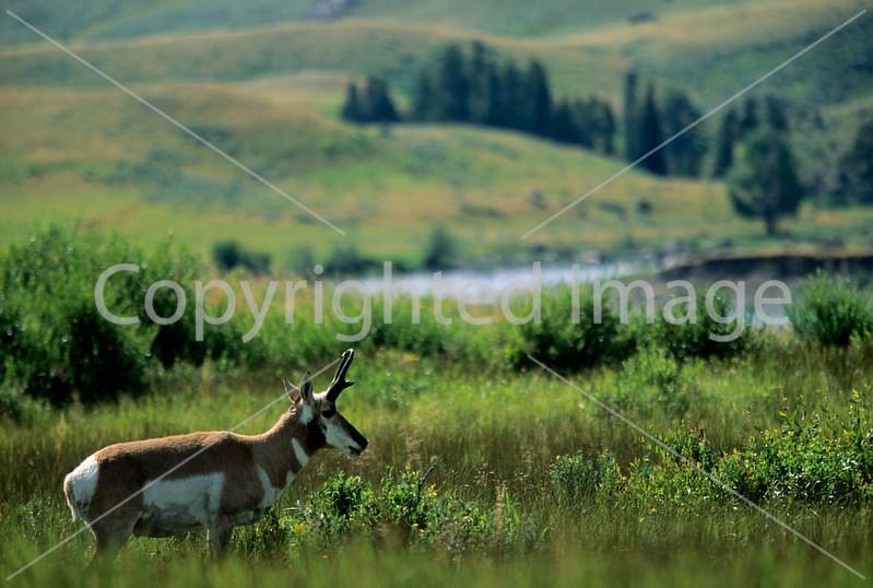 Yellowstone NP - Pronghorn antelope in Lamar Valley - - 72 dpi