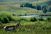 Yellowstone NP - Pronghorn antelope in Lamar Valley - - 72 dpi