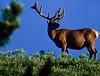 Bull elk, Otter Creek, Upper Falls, Yellowstone - 3 - 72 dpi