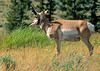 Pronghorn antelope, Lamar Valley, Yellowstone - 1 - 72 dpi