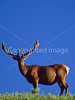 Bull elk, Otter Creek, Upper Falls, Yellowstone - 2 - 72 dpi
