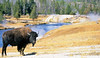 Bison, Firehole River, Yellowstone - 4 - 72 dpi - crop