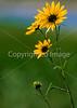 Yellowstone Nat  Park - flowers - 72 dpi