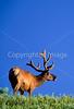 Bull elk, Otter Creek, Upper Falls, Yellowstone - 1 - 72 dpi