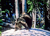 Yellowstone NP - grizzly bear - 72 dpi