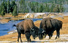 Bison, Firehole River, Yellowstone - 2 - 72 dpi - crop