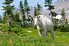 Glacier Nat'l Park - Rocky Mountain goat -0049 - 72