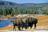 Bison, Firehole River, Yellowstone - 2 - 72 dpi