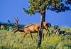 Elk, Yellowstone - 1 - 72 dpi