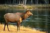 Bull elk, Firehole River, Yellowstone - 2 - 72 dpi