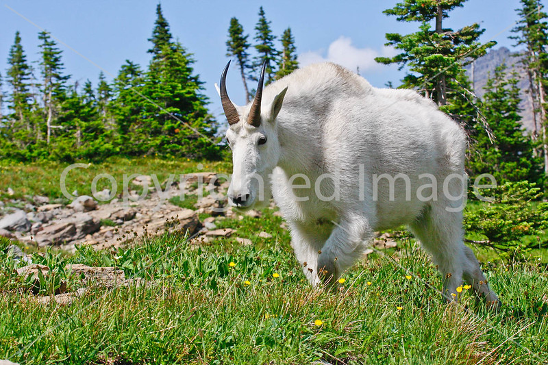 Glacier Nat'l Park - Rocky Mountain goat -0052 - 72 ppi