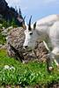 Glacier Nat'l Park - Rocky Mountain goat -0054 - 72