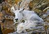 Glacier Nat'l Park - Rocky Mountain goat -0123 - 72 ppi