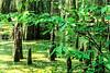 Cypress Swamp along Natchez Trace Parkway north of Jackson, Mississippi - 3 - 72 ppi