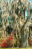 Spanish moss in Louisianai - 72 ppi