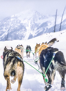 Dogsled team near Big Sky, Montana - 1 - 72 ppi