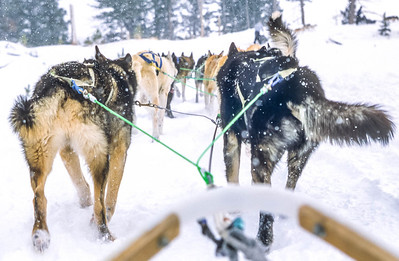 Dogsled team near Big Sky, Montana - 6 - 72 ppi-2