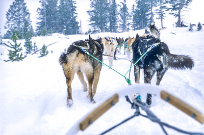 Dogsled team near Big Sky, Montana - 6 - 72 ppi