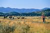 Mountain biker & buffalo in Grand Teton Nat'l Park, Wyoming - 6 - 72 ppi