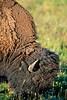 Bison, Yellowstone - 2 - 72 dpi
