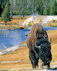 Bison, Firehole River, Yellowstone - 1 - 72 dpi - crop