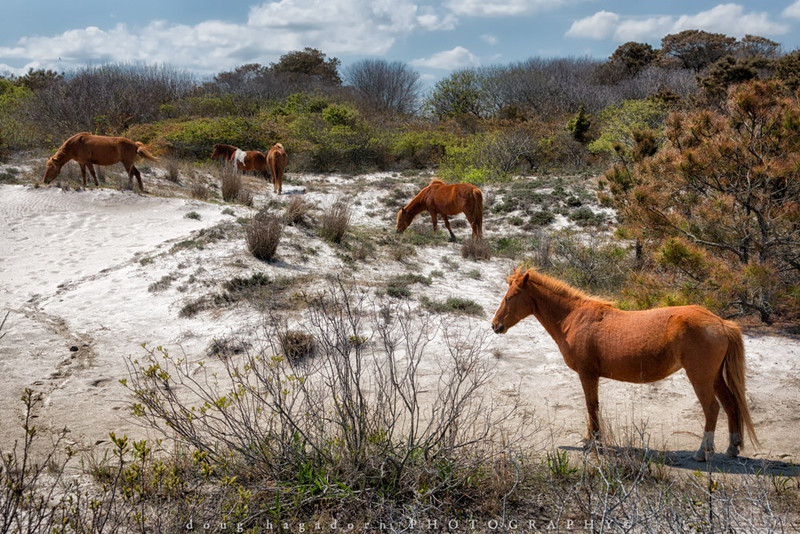 The Wild Ponies of Assateague