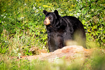 Black bear (Ursus americanus), preparing for hibernation. Maine, USA