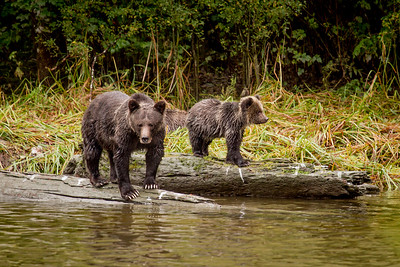 Grizzly bear female and cub (Ursus arctos) by a river, British Columbia, USA