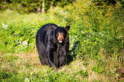 Black bear (Ursus americanus), preparing for hibernation. Maine, USA