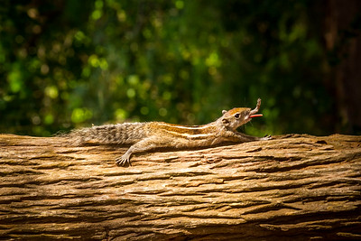 Palm squirrel stretch and tongue poke