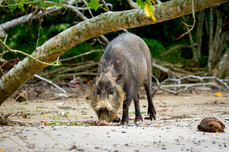 Bearded Pig (Sus barbatus), Borneo