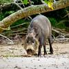 Bearded Pig (Sus barbatus), Borneo