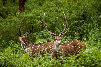 Chital Deer (Axis axis) at Biligiriranga Hills / B R Hills, south-eastern Karnataka, India.