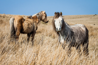 Wild welsh ponies of the Brecon Beacons-10.jpg
