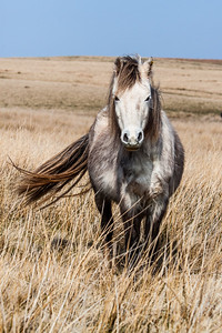 Wild welsh ponies of the Brecon Beacons-20.jpg