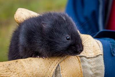 Black Scottish Watervole (Arvicola amphibius), Balmoral, Scotland.