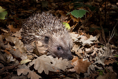 Hedgehog (Erinaceus europaeus) in oak woodland, UK.