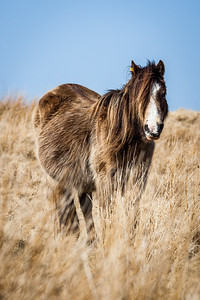 Wild welsh ponies of the Brecon Beacons-9.jpg