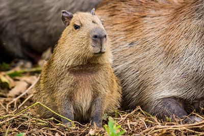Capybara of the Pantanal, Brazil-17.jpg