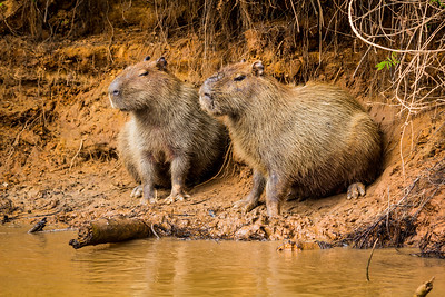 Capybara of the Pantanal, Brazil-26.jpg