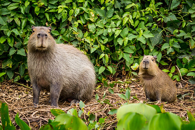Capybara of the Pantanal, Brazil-4.jpg
