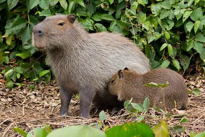 Capybara of the Pantanal, Brazil-7.jpg