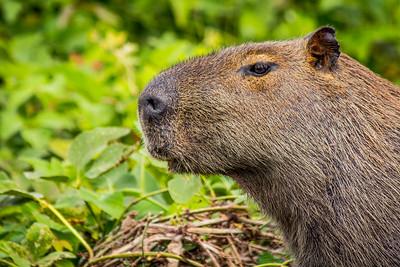 Capybara of the Pantanal, Brazil-38.jpg
