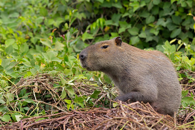 Capybara of the Pantanal, Brazil-36.jpg