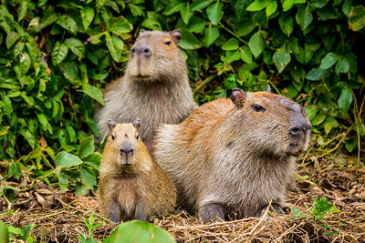 Capybara of the Pantanal, Brazil-14.jpg