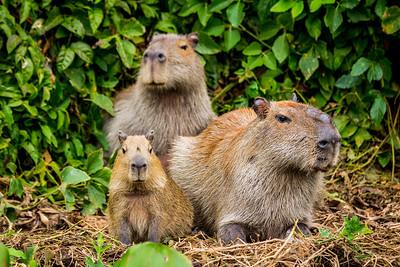 Capybara of the Pantanal, Brazil-14.jpg