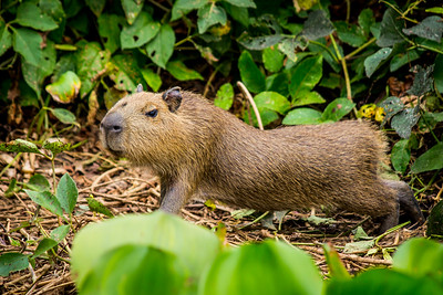 Capybara of the Pantanal, Brazil-3.jpg